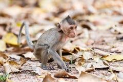 Kleiner Affe (Makaken Krabbe-essend) auf dem Boden Stockbild