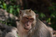 Kleiner Affe (Makaken Krabbe-essend), Thailand Lizenzfreie Stockfotos