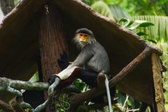 Kleiner Affe mit dem orange Gesicht, das auf Niederlassung stationiert Lizenzfreie Stockbilder