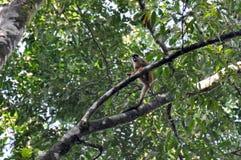 Kleiner Affe in Nationalpark Corcovado, Costa Rica Stockfotos