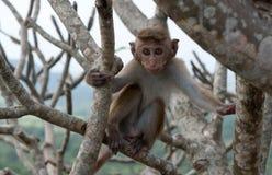 Kleiner Affe, Sri Lanka Lizenzfreies Stockbild