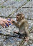 Kleiner Affe trinkt Wasser von einer Flasche Lizenzfreie Stockfotos