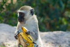 Kleiner Affe in wilder Natur Afrikas essen Banane Stockbilder