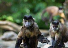Kleiner Affen Capuchin Stockbilder