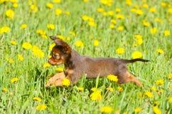 Kleiner aktiver Welpe, der auf das grüne Gras springt Russisches Spielzeug Stockbilder
