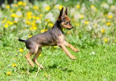 Kleiner aktiver Welpe, der in das grüne Gras springt Schöner rothaariger Hund, der in die Straße läuft Russisches Spielzeug Stockbild