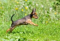 Kleiner aktiver Welpe, der in das grüne Gras springt Schöner rothaariger Hund, der in die Straße läuft Russisches Spielzeug Lizenzfreies Stockfoto