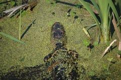 Kleiner Alligator Stockfotos
