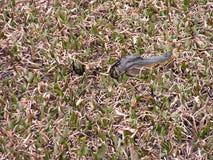 Kleiner Alligator im Sumpf Stockfotos
