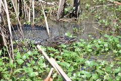 Kleiner Alligator am Sweetwater-Sumpfgebiet-Park Lizenzfreie Stockfotografie