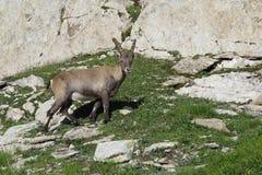 Kleiner alpiner Steinbock lizenzfreie stockfotos