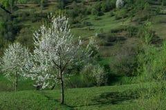 Kleiner Apfelbaum Lizenzfreies Stockfoto
