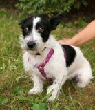 Kleiner bärtiger Hund, der auf Gras sitzt Stockfotografie