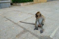 Kleiner Baby-Affe, der bei Tiger Cave Temple in Krabi Pro sitzt Lizenzfreie Stockfotografie