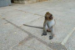 Kleiner Baby-Affe, der bei Tiger Cave Temple in Krabi Pro sitzt Lizenzfreies Stockfoto