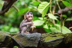Kleiner Babyaffe im heiligen Affewald von Ubud Stockbild