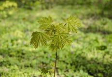 Kleiner Baum des Ahorns Lizenzfreie Stockbilder
