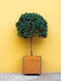 Kleiner Baum in einem quadratischen Topf Lizenzfreie Stockfotos