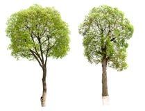 Kleiner Baum (Kampfer) Stockbild