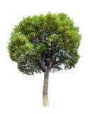 Kleiner Baum (Kampfer) Stockfotografie