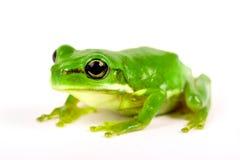 Kleiner Baumfrosch auf weißem Hintergrund Stockfoto