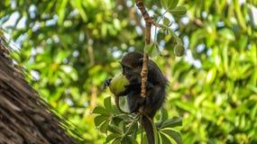 Kleiner blauer Affe, der Baobabfrucht isst stockfotos
