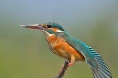 Kleiner blauer Eisvogel (Alcedo atthis) stockbild