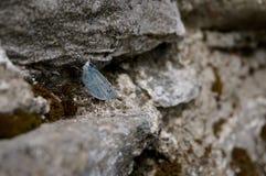 Kleiner blauer Schmetterling auf Felsen Stockfoto
