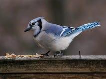 Kleiner blauer Vogel, der Krumen auf Plattform isst Lizenzfreies Stockfoto
