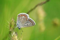 Kleiner blaues Wasser-Schmetterling und grüner Hintergrund Lizenzfreie Stockbilder