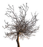 Kleiner bloßer Baum mit dichten Niederlassungen Lizenzfreies Stockbild