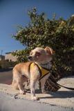 Kleiner blonder Chihuahuawelpe Lizenzfreie Stockbilder
