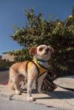 Kleiner blonder Chihuahuawelpe Stockfoto