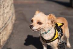Kleiner blonder Chihuahuawelpe Stockbilder