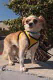 Kleiner blonder Chihuahuawelpe Lizenzfreies Stockfoto