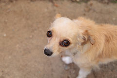 Kleiner blonder Chihuahuawelpe Lizenzfreie Stockfotos