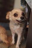 Kleiner blonder Chihuahuawelpe Stockfotos