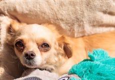 Kleiner blonder Chihuahuawelpe Stockbild