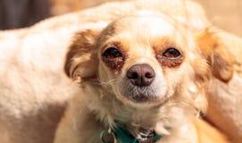 Kleiner blonder Chihuahuawelpe Stockfotografie