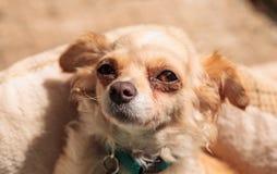 Kleiner blonder Chihuahuawelpe Lizenzfreie Stockfotografie
