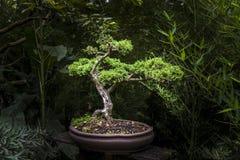 Kleiner Bonsaibaum in der Ausstellung Lizenzfreie Stockfotos