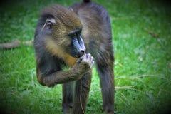 kleiner brauner Affe Stockfotos