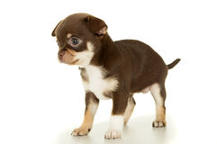 Kleiner brauner Chihuahuawelpe lokalisiert lizenzfreies stockfoto