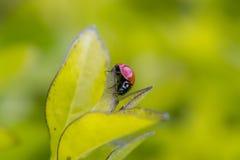 Kleiner brauner Marienkäfer auf einigem verlässt Stockfotos