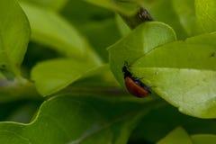 Kleiner brauner Marienkäfer auf einigem verlässt Lizenzfreie Stockbilder