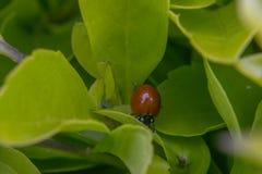 Kleiner brauner Marienkäfer auf einigem verlässt Stockbild