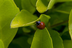 Kleiner brauner Marienkäfer auf einigem verlässt Stockfoto
