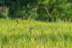 Kleiner brauner Vogel auf Niederlassung Stockbild
