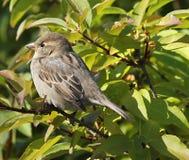 Kleiner brauner Vogel im Baum Stockfotos