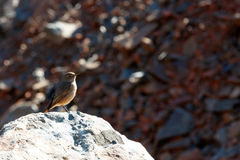 Kleiner Brown-Vogel Stockbilder